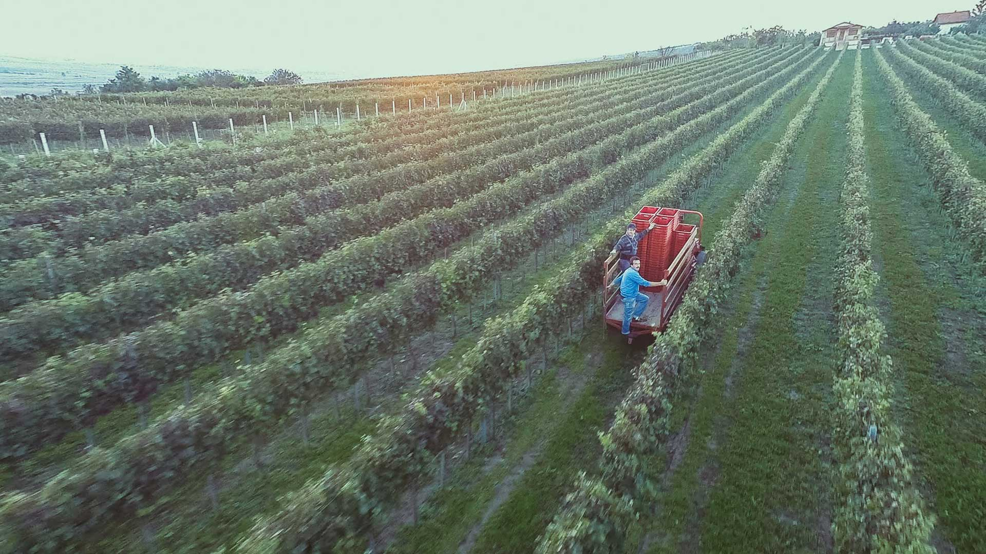 vinograd atelje vina sapat