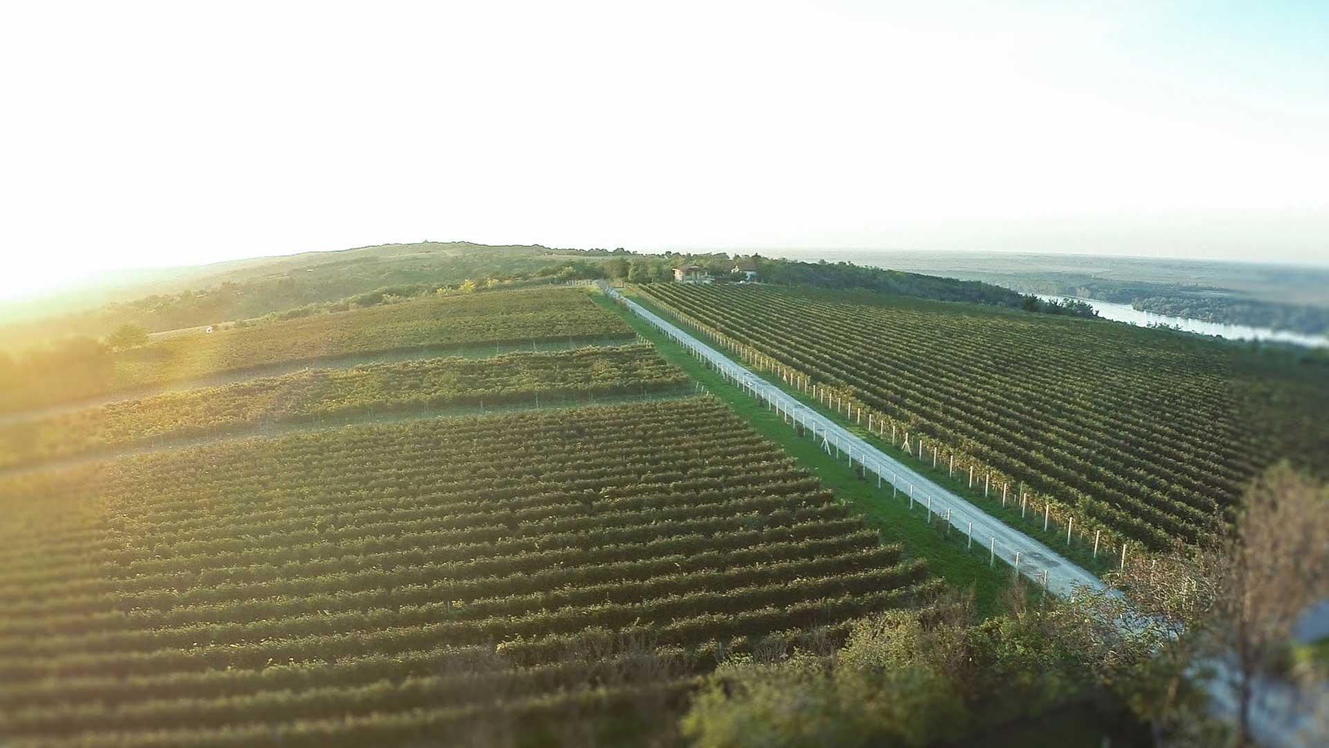 Vinograd šapat dron